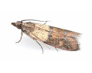 Angoumois Grain Moths