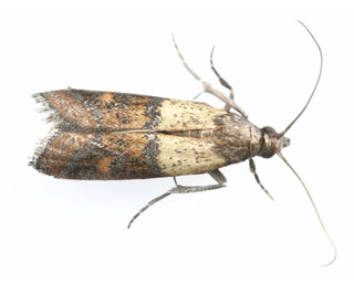 Indian Meal Moths
