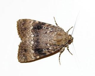Small flying moths